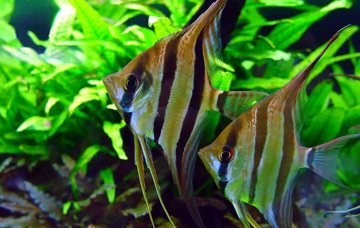Best-Foods-for-Angelfish