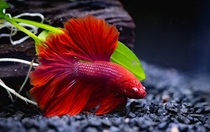 How-Often-Should-You-Feed-a-Betta-Fish
