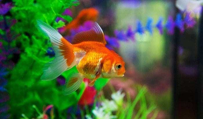 How-Often-to-Feed-Your-Goldfish